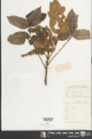 Rhus chinensis image