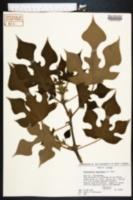 Broussonetia papyrifera image
