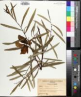 Image of Asimina angustifolia