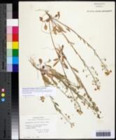 Image of Physaria gracilis