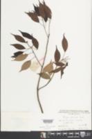 Image of Altingia gracilipes
