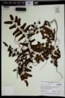 Lygodium reticulatum image