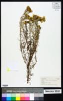 Helichrysum kirkii image