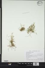 Sagina japonica image