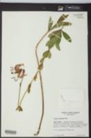 Image of Lilium iridollae