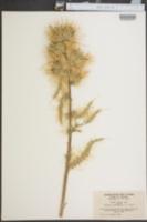 Image of Cirsium clokeyi