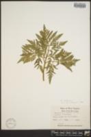 Sceptridium jenmanii image
