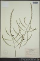 Asparagus officinalis image