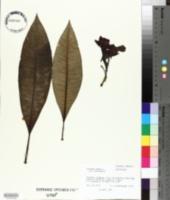 Plumeria rubra image