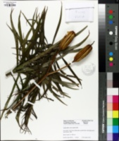 Image of Zephyranthes macrosiphon