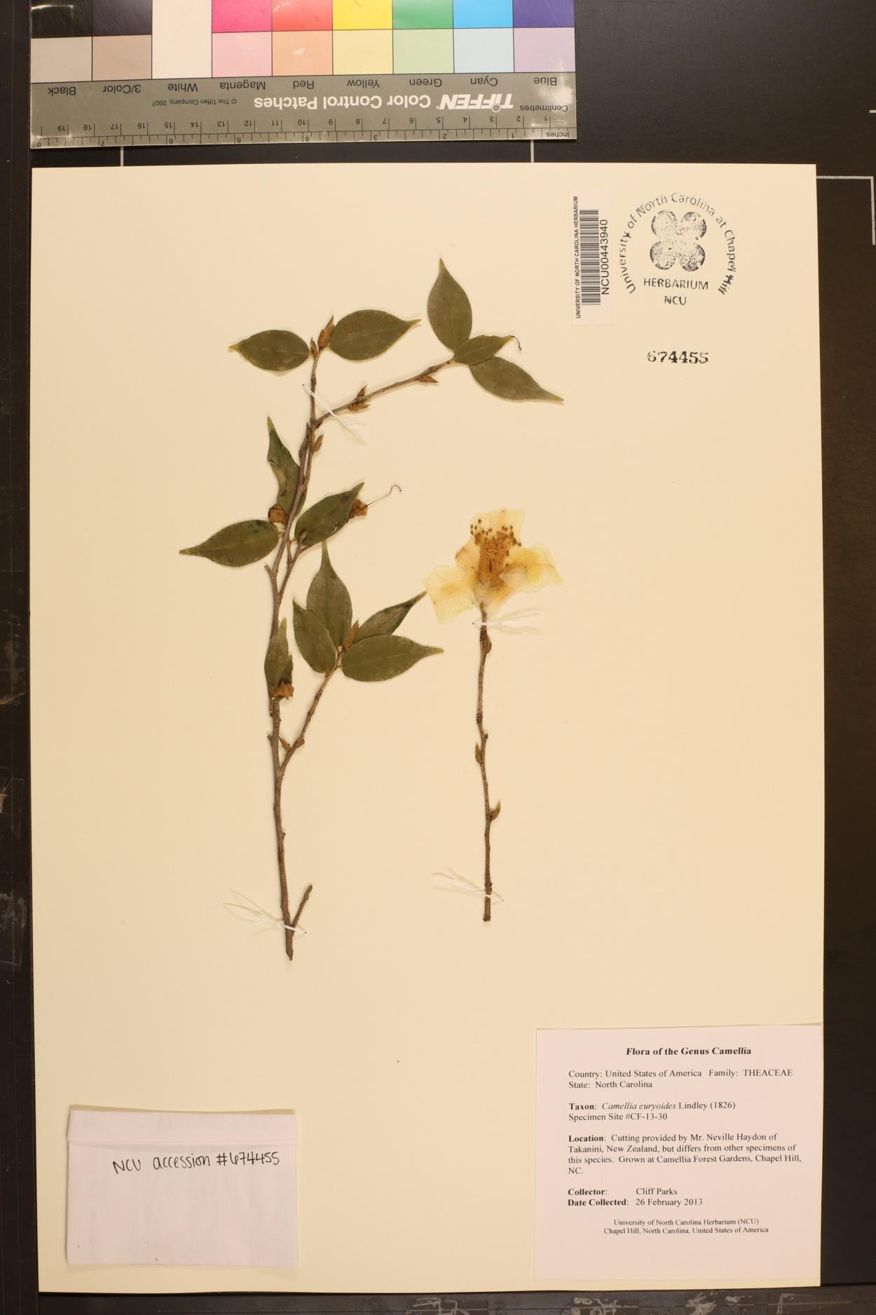 Camellia euryoides image