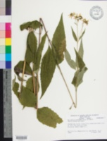 Image of Helianthus glaucophyllus