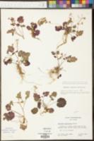 Cardamine clematitis image