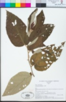 Image of Commersonia bartramia