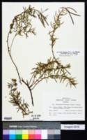 Image of Epilobium fleischeri