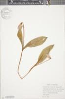 Erythronium americanum subsp. americanum image