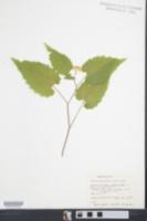 Symphyotrichum divaricatum image