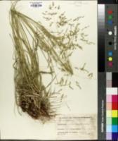 Panicum coloratum image