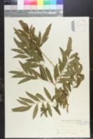 Image of Osmunda lancea