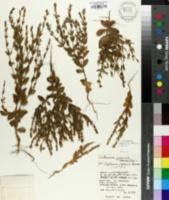 Image of Centaurium japonicum