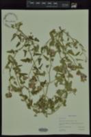Image of Sphaeralcea pedatifida