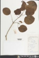Image of Triadica rotundifolia