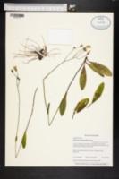 Image of Hieracium megacephalon