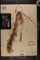 Image of Bromus macrostachys