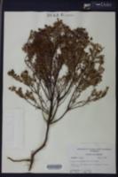 Hypericum microsepalum image