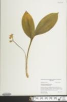 Image of Convallaria majuscula