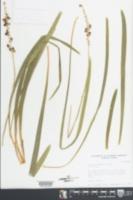 Liriope muscari image