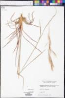 Andropogon pumilus image