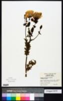 Argemone albiflora image