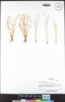 Juncus bufonius image