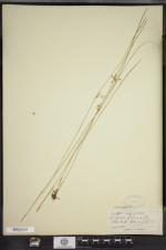 Juncus filiformis image