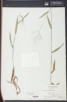 Image of Panicum wilmingtonense