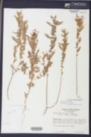 Acalypha gracilens image