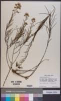 Vernonanthura nudiflora image