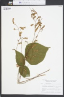 Desmodium glutinosum image