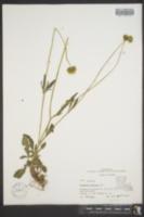 Coreopsis pubescens image