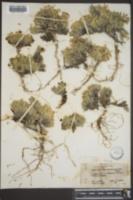 Phlox viscida image