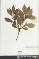 Image of Clerodendrum fortunatum