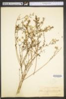 Image of Symphyotrichum kralii