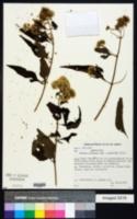 Mikania micrantha image
