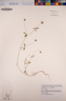 Trifolium bifidum var. bifidum image