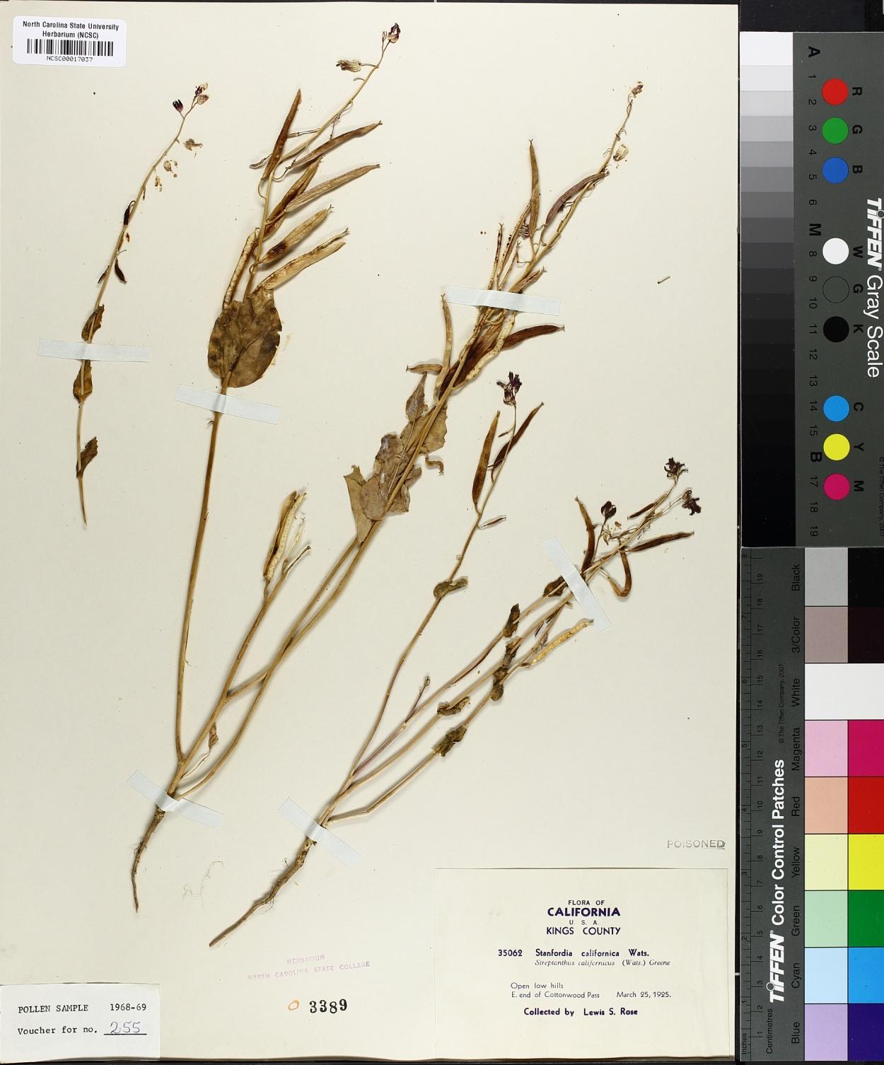 Stanfordia californica image