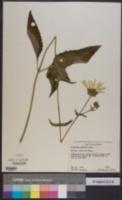 Silphium gracile image