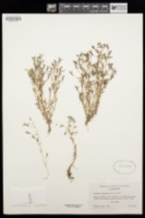 Porterella carnosula image