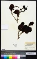 Coccoloba diversifolia image