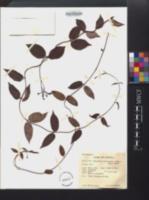 Image of Angadenia lindeniana